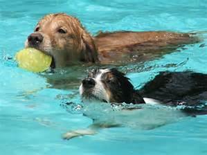 dogsswimming