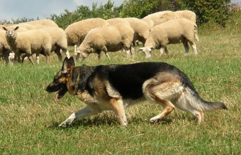 ShepherdHearding.jpg